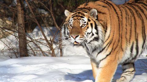 Sibirischer Tiger |