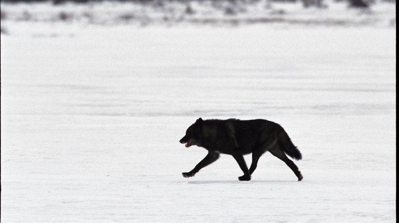 Das Geheimnis des schwarzen Wolfs