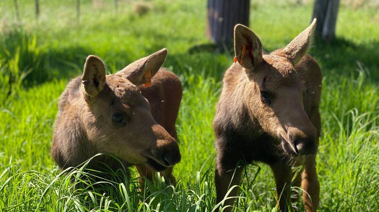 Alaskas Wildtier-Retter